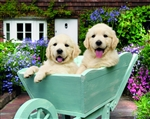 5B98 Pups in wheelbarrow