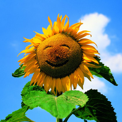 ... Sunflowers Happy Sunflower PvZ Sunflower Clip Art Sunflower Flowers