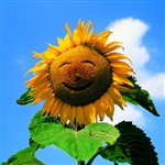 6B02 Happy Sunflower