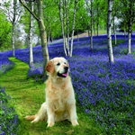 6B45 Golden Retriever in Bluebell Woods