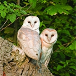 6B53 Two Barn Owls
