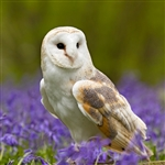 6B128 Barn Owl in Bluebells